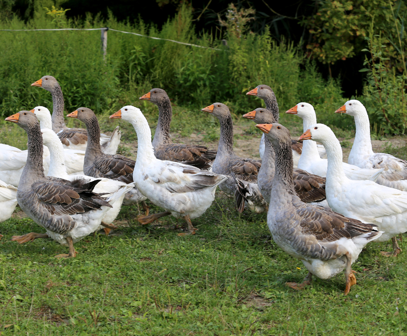 Guide to Domestic Goose Breeds