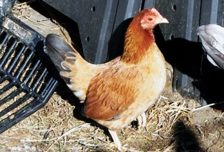 The Dorking Chicken and Other Classic Breeds