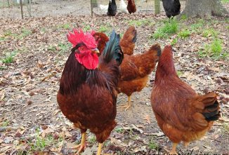 Five Reasons Why I Love Owning Chickens