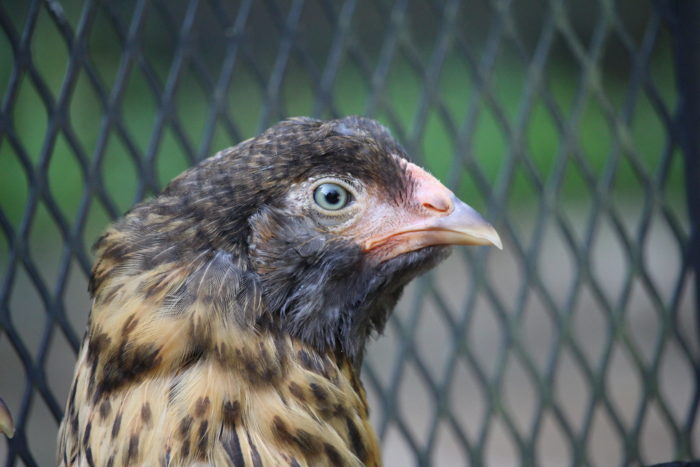 Best Backyard Chickens for Urban Areas