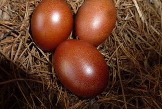 The History and Future of Marans Chickens