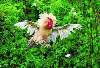 Dealing with Chicken Mortality