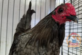 Disqualifications in Show-Quality Chickens