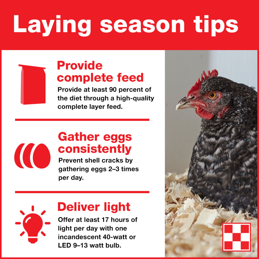 hens-laying-eggs