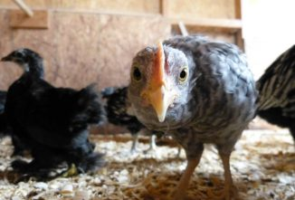Cockerel and Pullet Chickens: 3 Tips for Raising These Teenagers