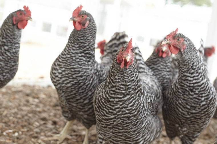 How to Stop Chickens From Pecking Each Other in 3 Easy Steps