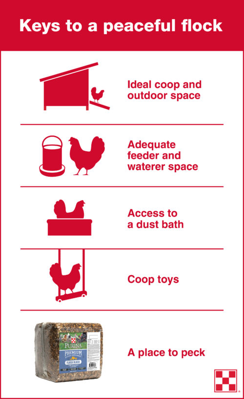 how-to-spot-chickens-from-pecking-each-other