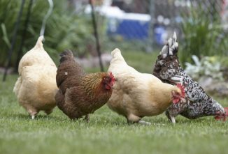 Two Paths to Producing Your Own Organic Eggs