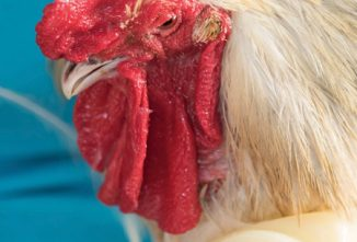 Rooster Comb Care