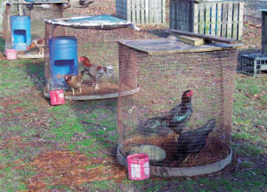 how-to-breed-chickens-breed-pens
