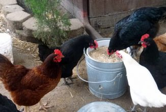 What Can Chickens Eat as a Treat? — Chickens In A Minute Video
