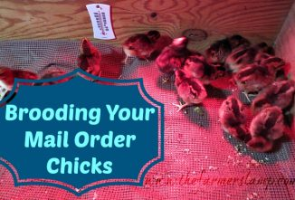 Raising Chicks From Mail Order Sources