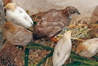 Button Quail: Adorable By Any Name