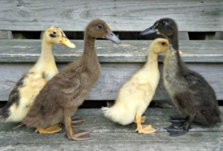 A Quick Guide to Buying Ducks
