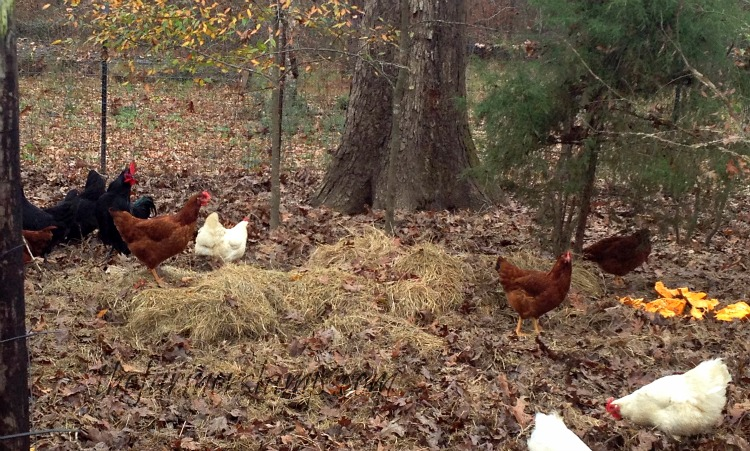 how-to-raise-free-range-chickens