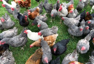 Can I Keep Different Chicken Breeds Together? — Chickens in a Minute Video