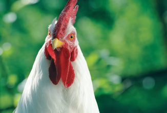 Can Chickens Make You Sick?