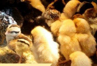 What to Look for When Buying Baby Chicks