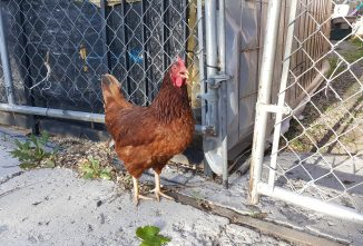 Wild Chickens in Hawaii, California and the Florida Keys