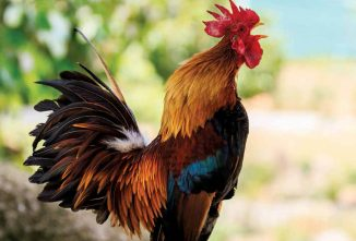 What Roosters Are Crowing About