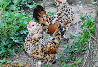 Belgian d'Uccle Chicken: Everything Worth Knowing