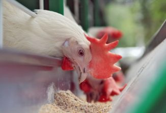 What Do Chickens Need? — Chickens in a Minute Video