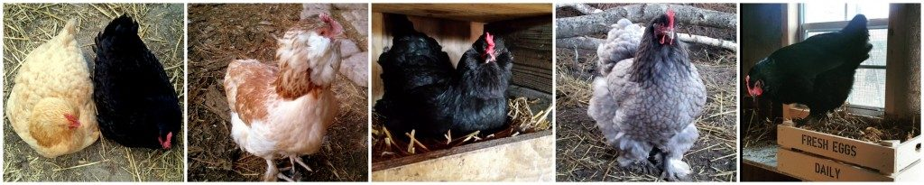 chickens-as-pets
