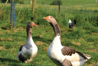 The Flanders Goose