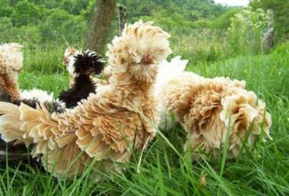 Frizzle Chickens: Unusual Eye Candy in a Flock