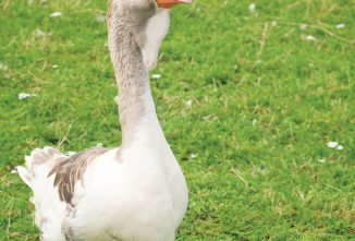 Practical Uses for Geese