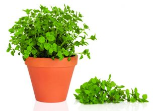 Oregano for Chickens: Build Stronger Immune Systems