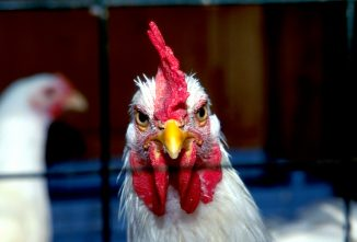 Chicken Pecking Order — Stressful Times In The Coop