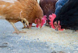 What Not to Feed Your Chickens so They Stay Healthy