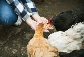 Corn for Chickens and Other Fowl Fallacies