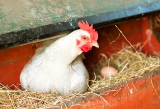 Chickens Eating Eggs: 10 Ways to Stop or Prevent It