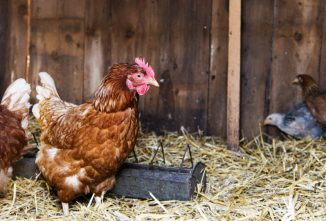 How the Veterinary Feed Directive will Affect Chicken & Poultry Owners