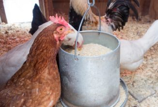An Overview of What to Feed Chickens