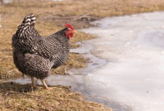 6 Ways to Prepare for Raising Chickens in Winter
