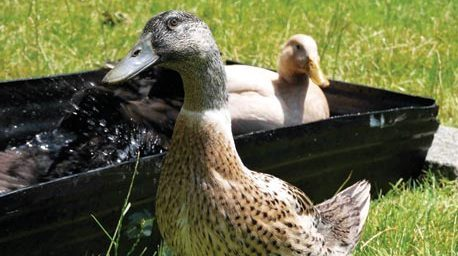 A Beginner's Guide to Keeping Ducks in Suburbia