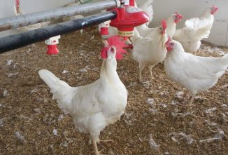 Chicken Math For The Budding Production Flock
