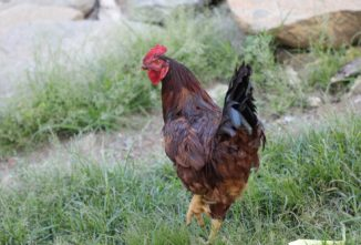 Comb-To-Toe Checkup for Chicken Ailments
