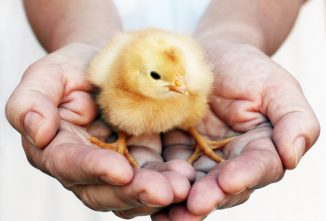 How To Administer the Marek's Disease Vaccine to Poultry Chicks
