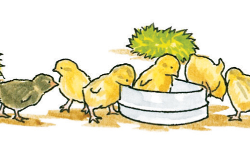 Illustrations of hens, chicks and roosters