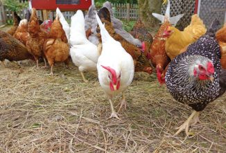Finding the Non-Layer in Your Chicken Flock