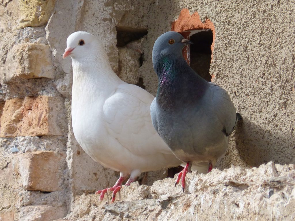 pigeon-facts