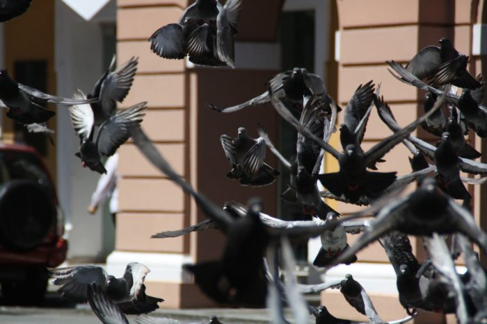 The Sport of Racing Pigeons