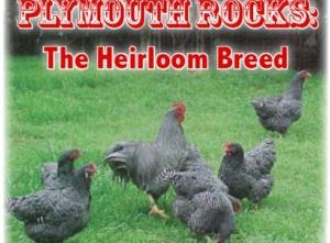 Plymouth Barred Rock Chickens: The Original Heirloom Chicken Breed