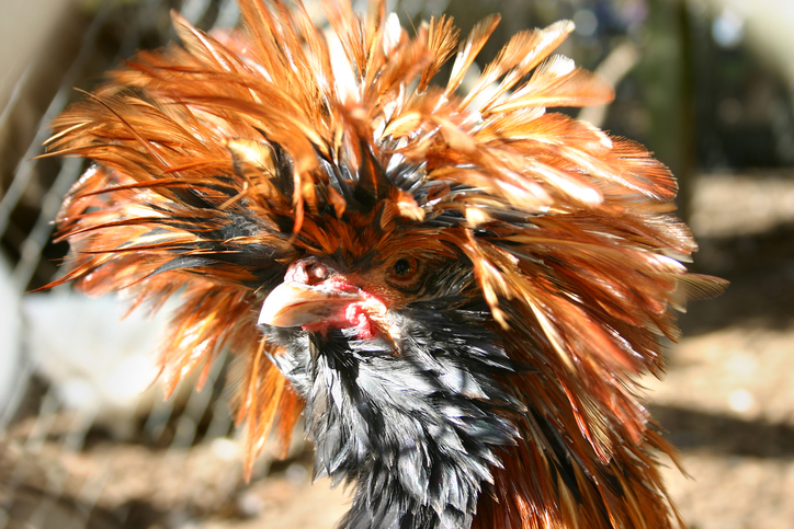 """The Polish Chicken: """"The Royalty of Poultry"""""""