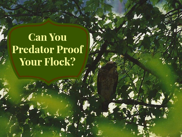 Protecting Chickens From Predators: Can You Predator Proof Your Flock?