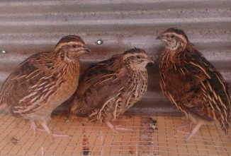 5 Reasons to Start Raising Quail